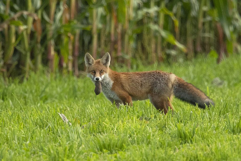 Yeah Fuchs mit Maus :-)
