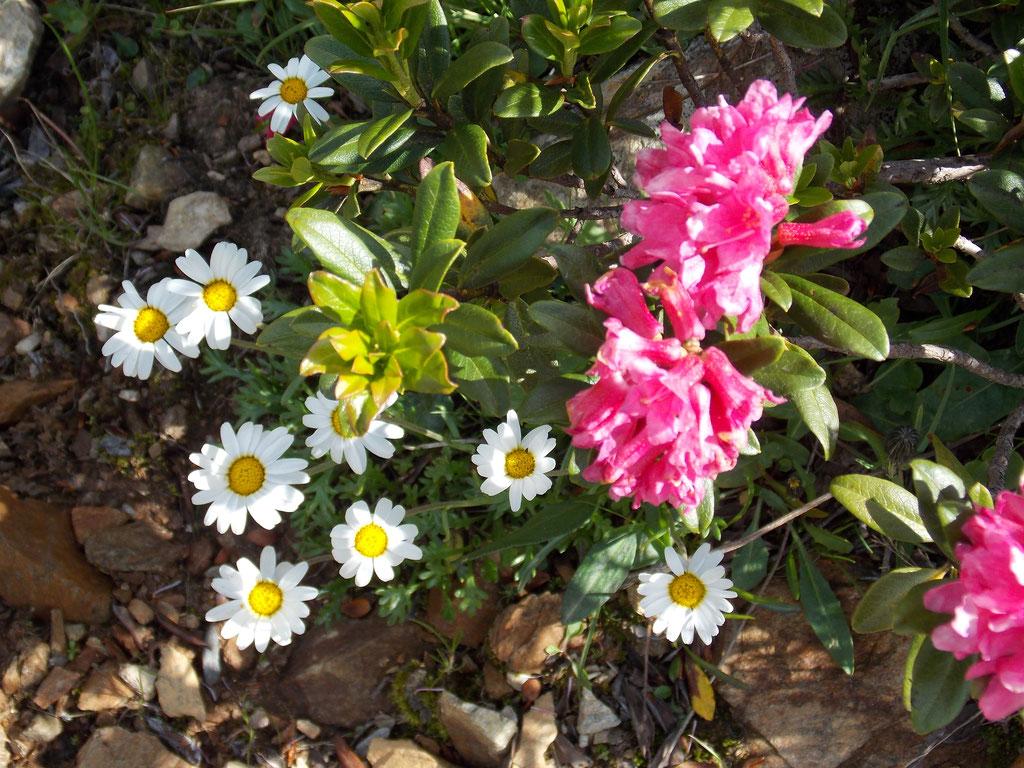 Alpenrose und Margariten