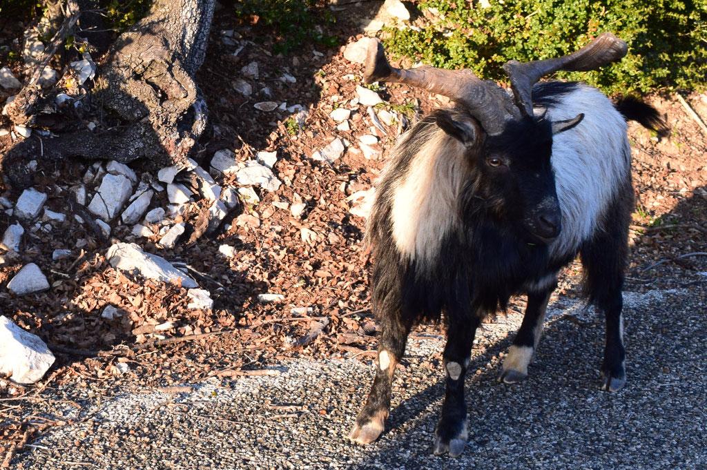 wild goat, Ardèche