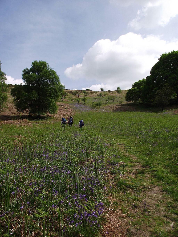 Bluebells, Dartmoor, Devon, England