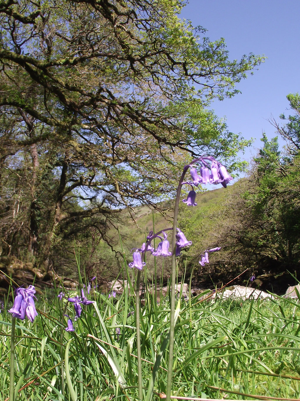 Bluebells, Dartmoor, Devon, England, UK