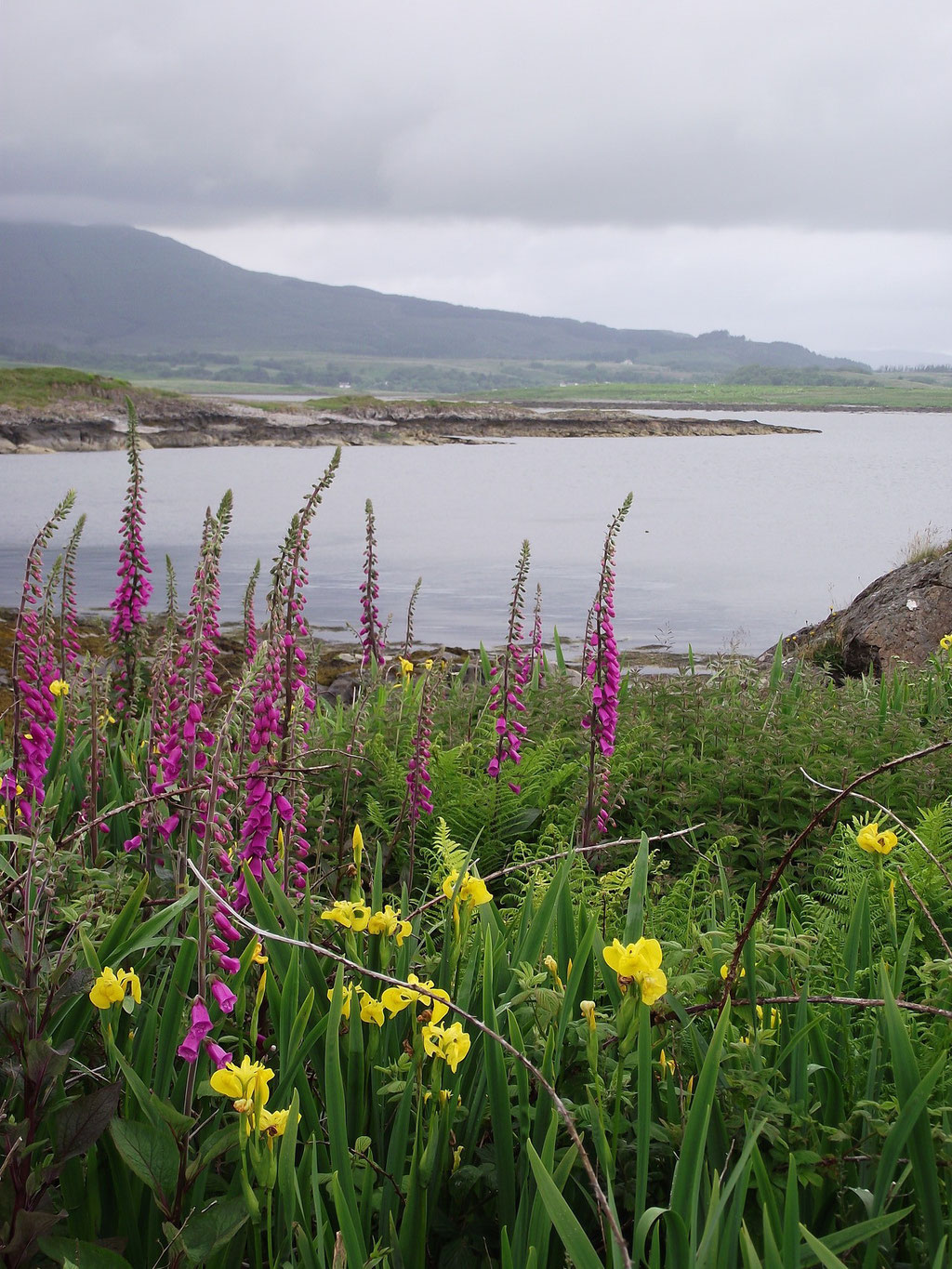 Fox gloves, yellow iris, flowers, Isle of Mull, Scotland