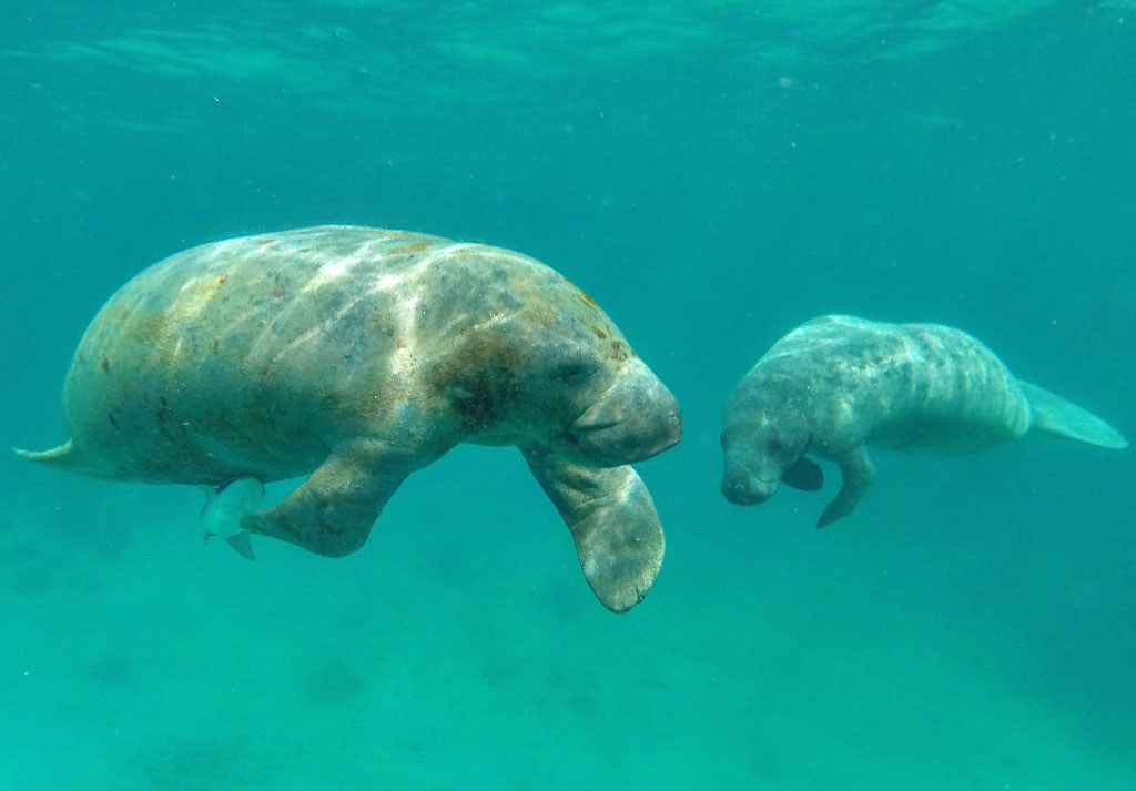 West Indian Manatee and baby, Caye Caulker, Belize