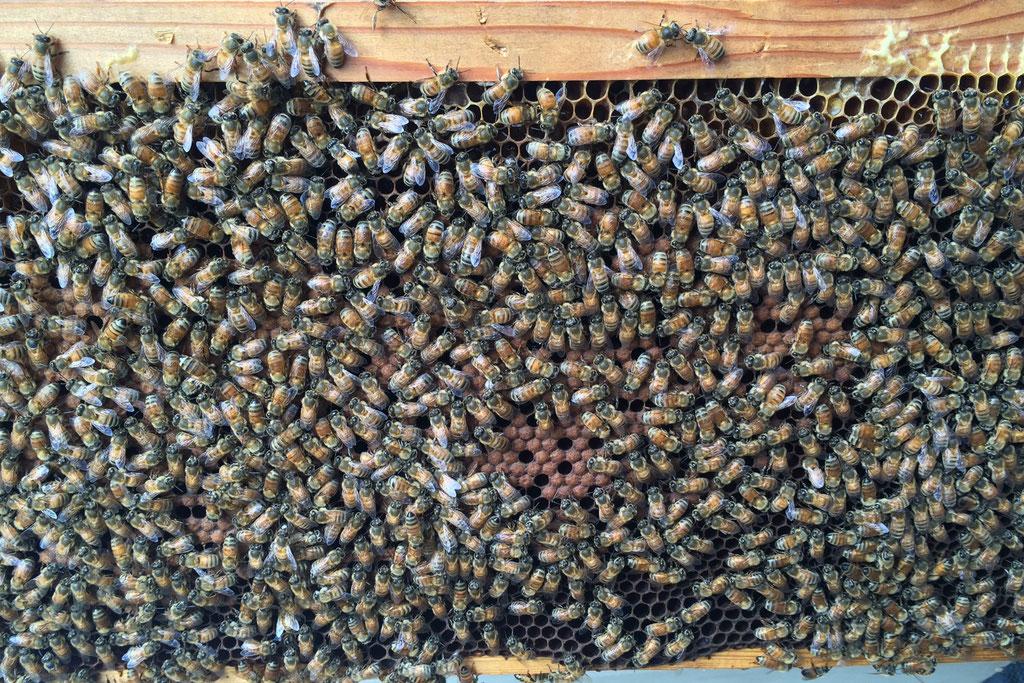 西洋蜜蜂 種蜂販売