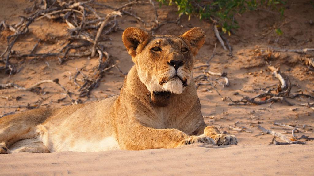 Lionnes du désert ; Hoanib ; Namibie. Nature Maxime Lelièvre