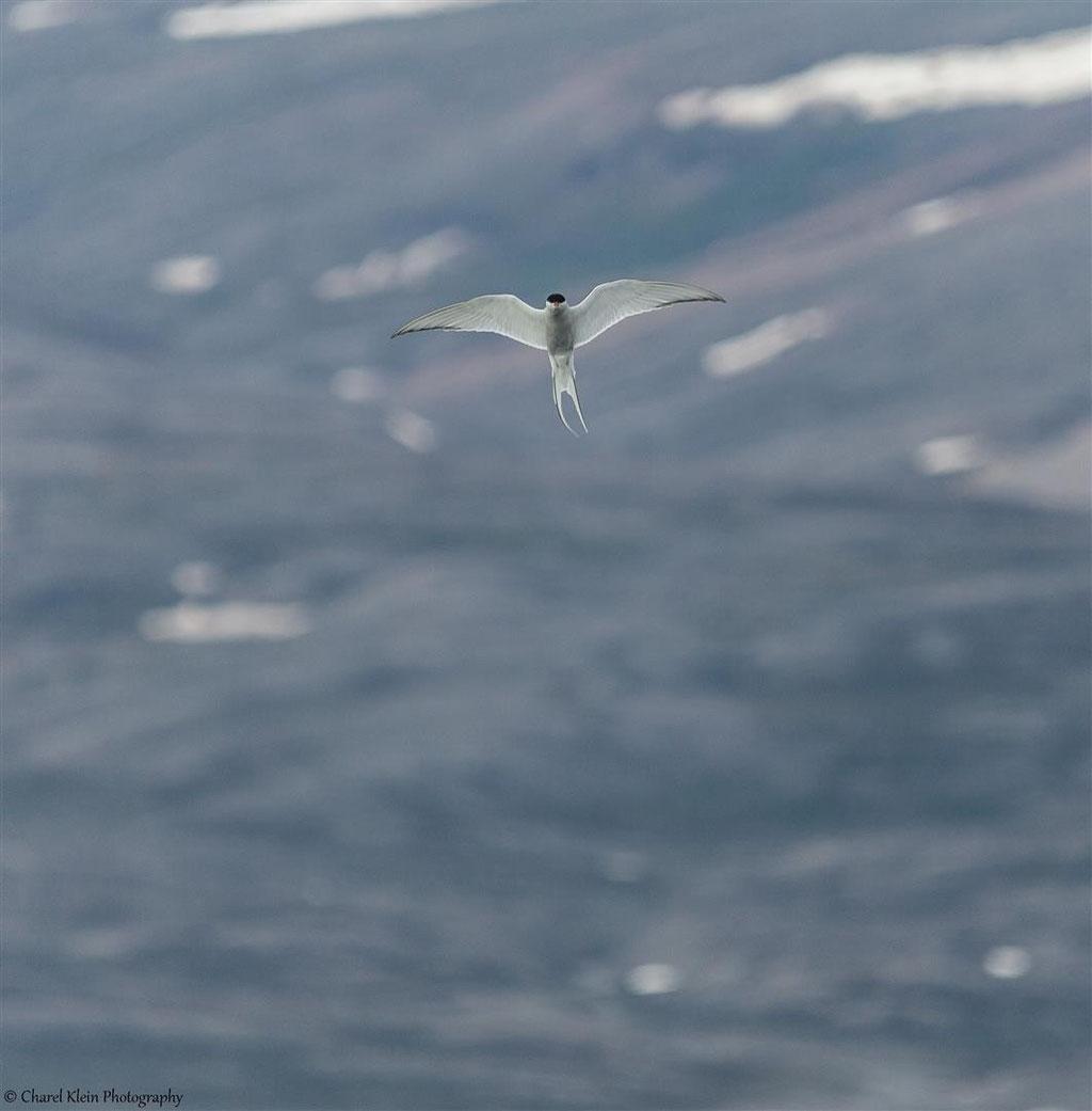 Arctic Tern    (Sterna paradisaea)  -- Traill / Karupelv Valley Project / Greenland  -- July 2015