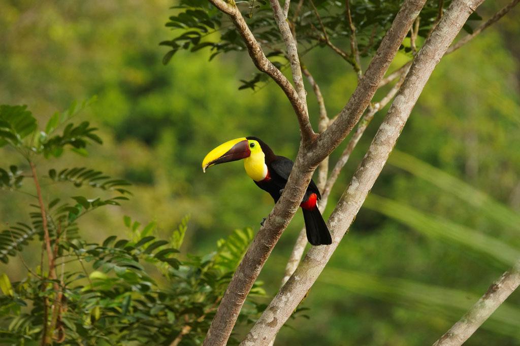 Swainson-Tukan Ramphastos swainsonii | Costa Rica