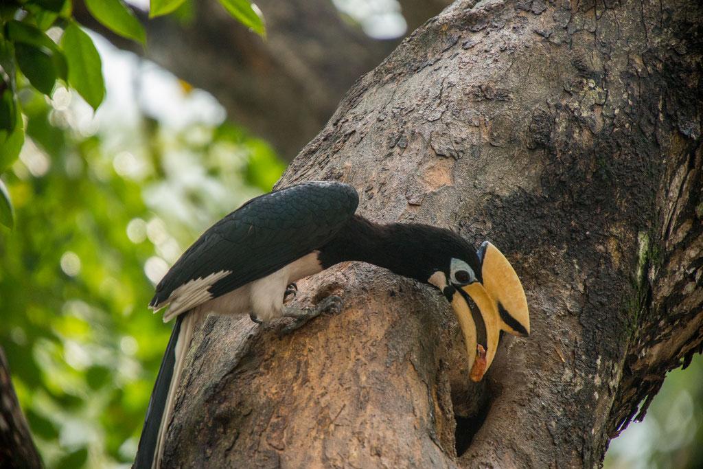 oriental pied hornbill | Signapor