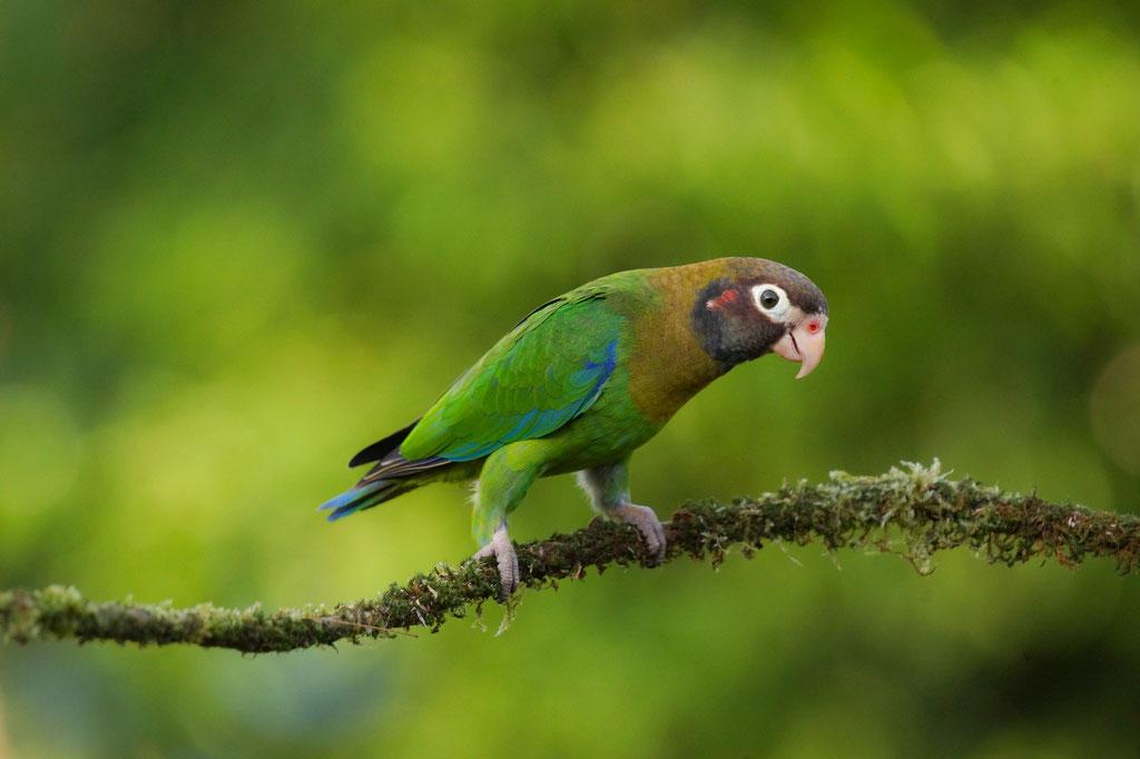 brown-hooded parrot (Pyrilia haematotis)