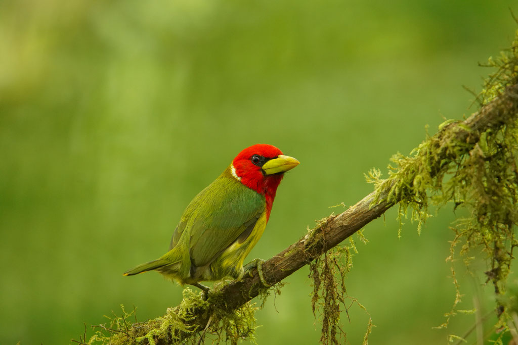 The red-headed barbet (Eubucco bourcierii) male