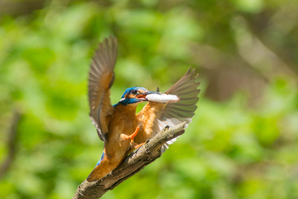 The common kingfisher (Alcedo atthis)