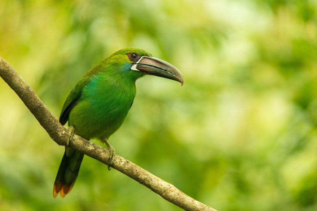 crimson-rumped toucanet - Aulacorhynchus haematopygus | Ecuador