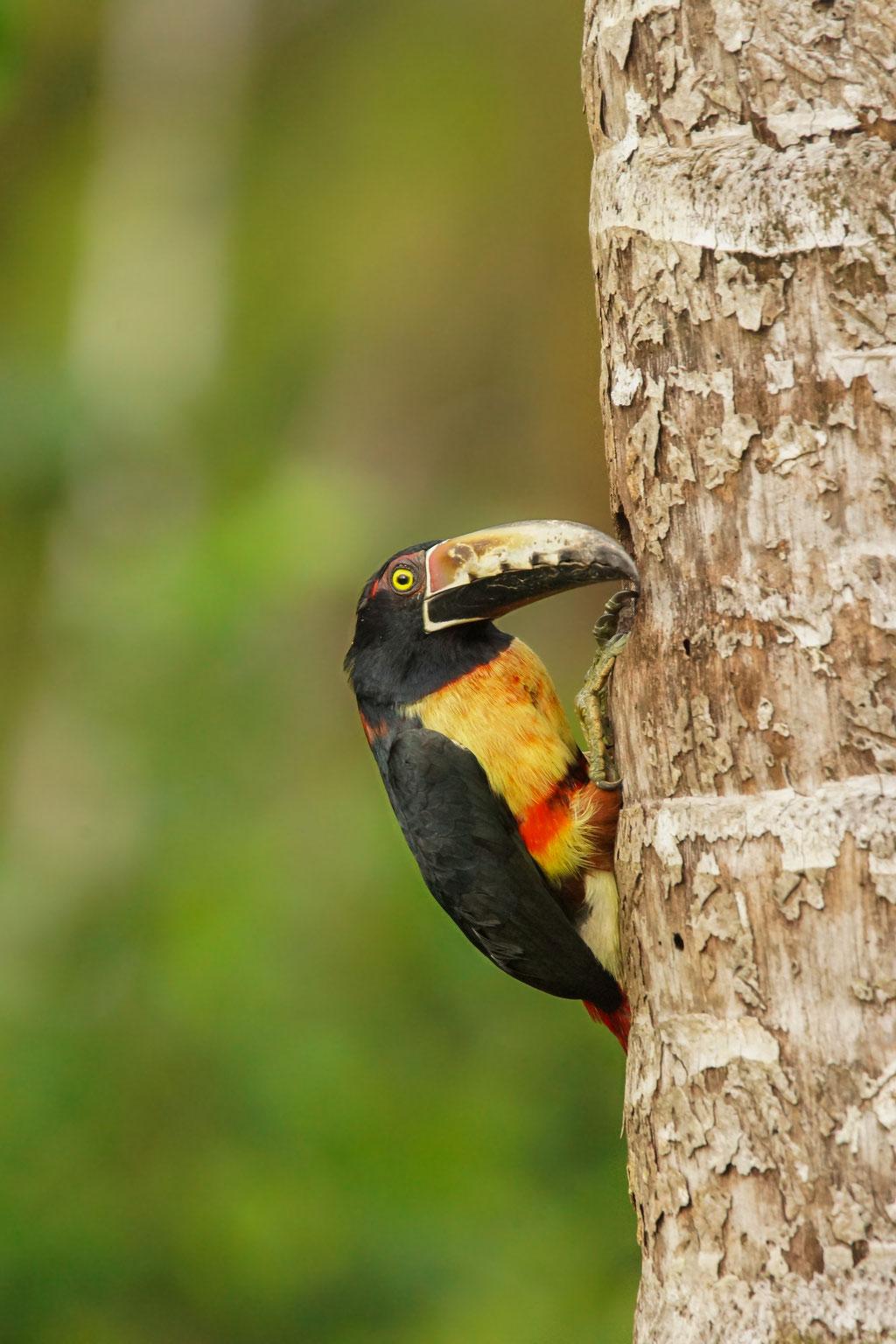 Halsbandarassari - Pteroglossus torquatus | Costa Rica