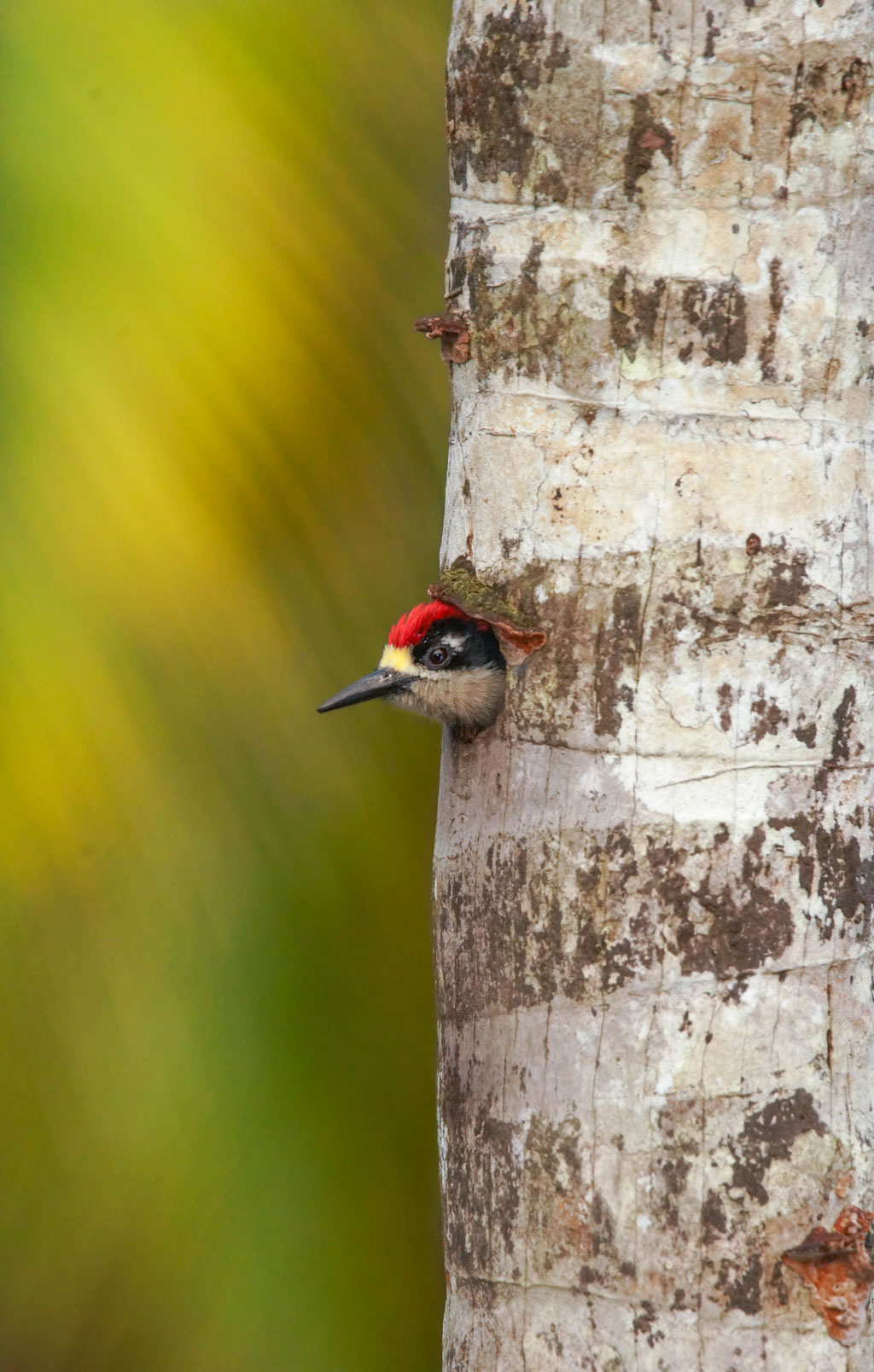Black - cheeked Woodpecker (Melanerpes pucherani) | Costa Rica