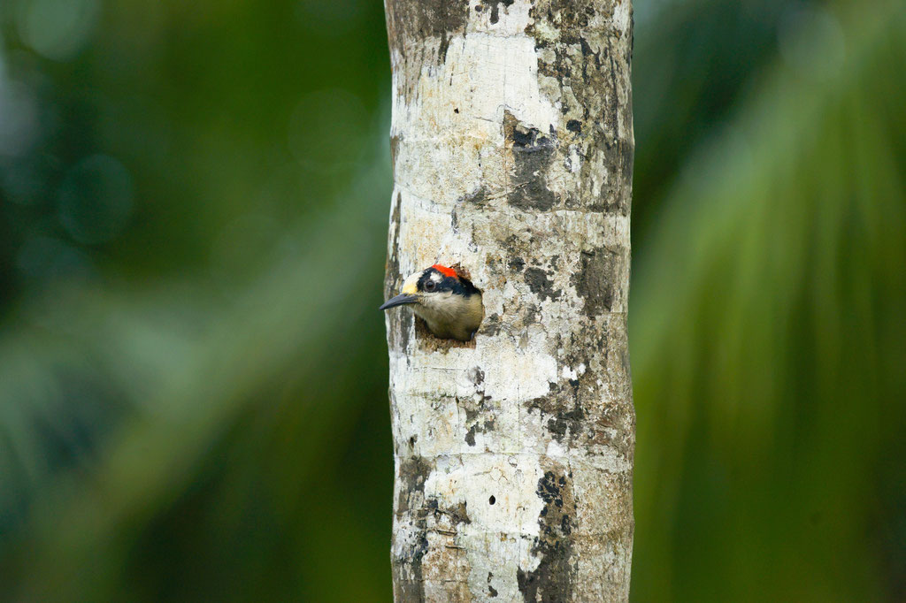 Black - cheeked Woodpecker (Melanerpes pucherani) | Costa Rica