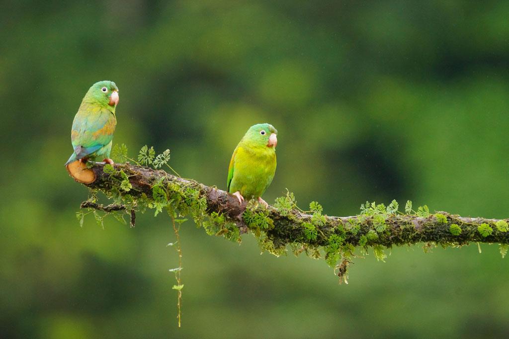 orange-chinned parakeet (Brotogeris jugularis)