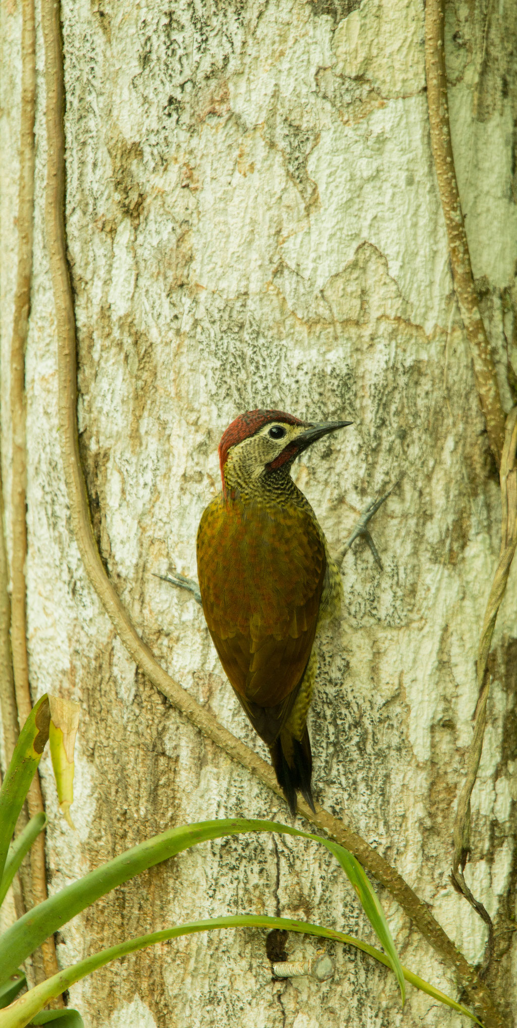 Yellow-Vented Woodpecker | Ecuador