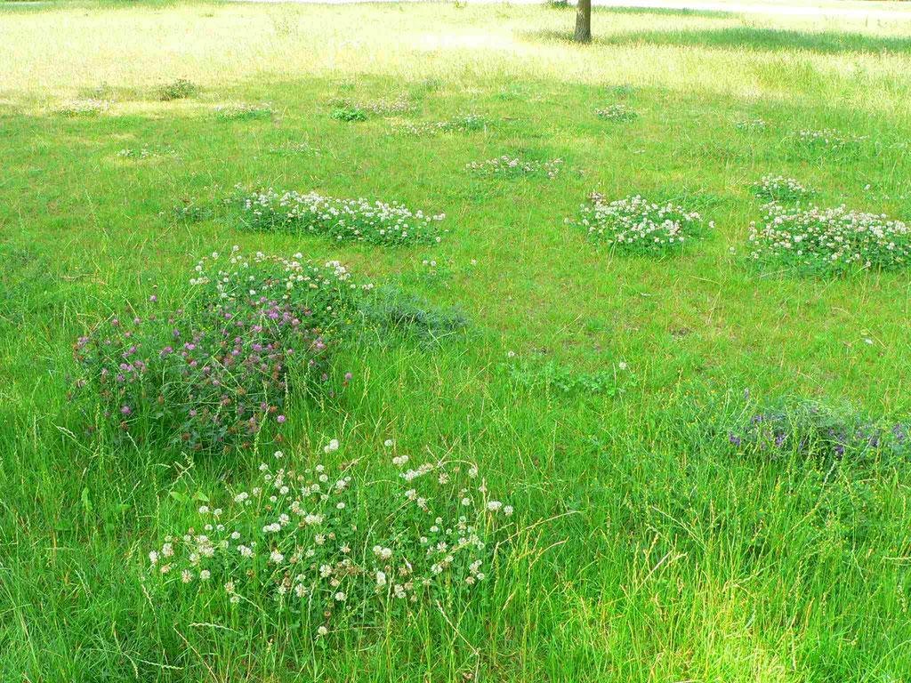 Wiesen Rotklee, wächst in Gruppen , weiße und rote Blütenpolster wie Inseln auf der Wiese | copyright Britta Jessen