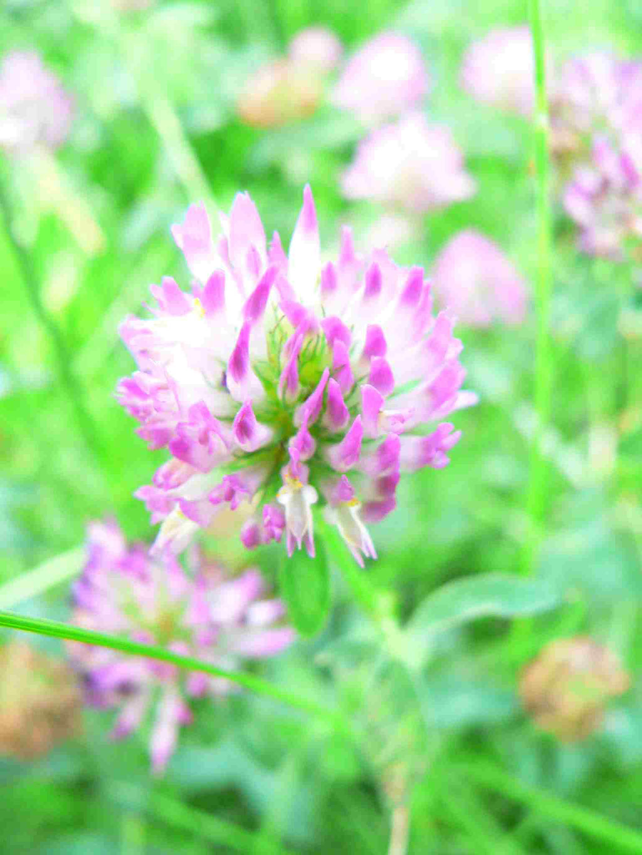 Wiesen Rotklee, rosa Blütenkopf, die Blütenkrone ist röhrenförmig | copyright Britta Jessen