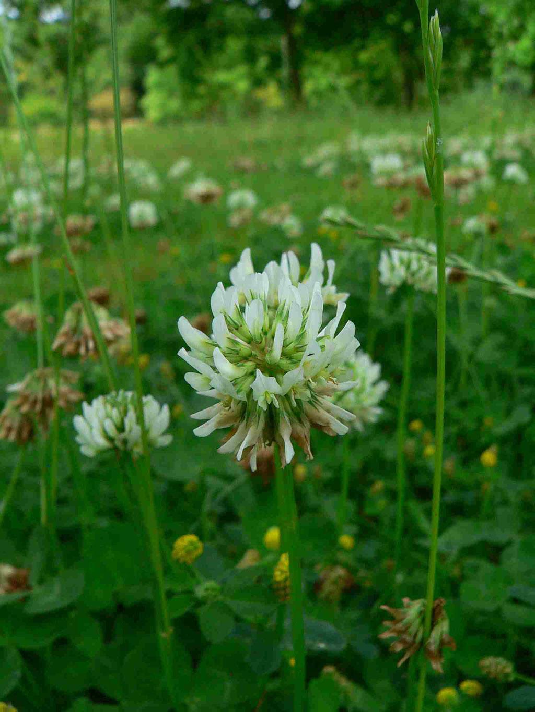 Weiß-Klee, kugelige, eiförmige Blütenköpfe | copyright Britta Jessen
