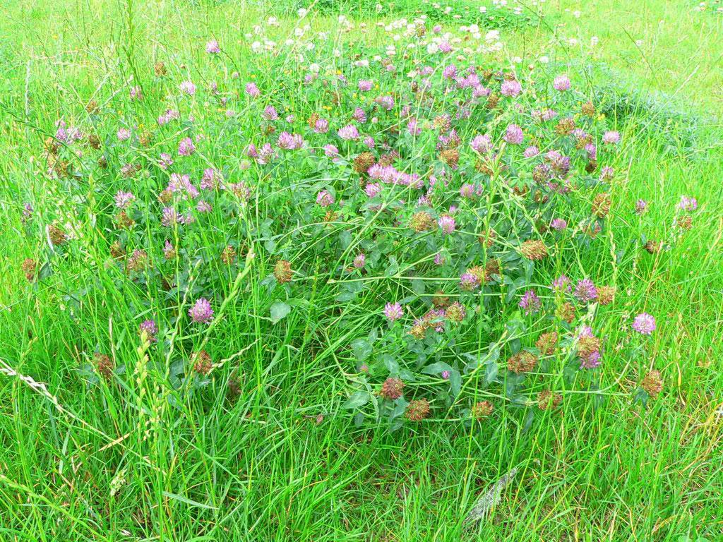 Wiesen Rotklee, rosa Blütenpolster | copyright Britta Jessen