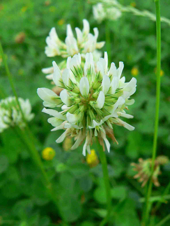 Weiß-Klee, verblühte Einzelblüten werden braun | copyright Britta Jessen