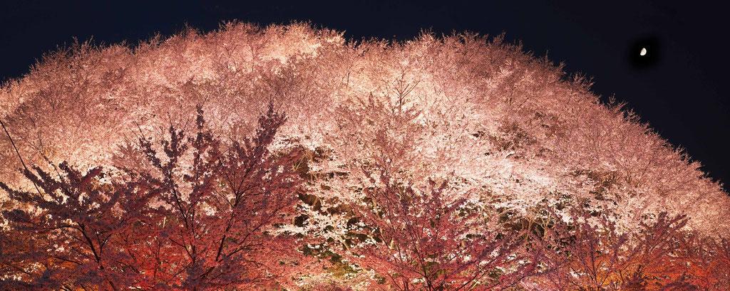 荒神山の夜桜