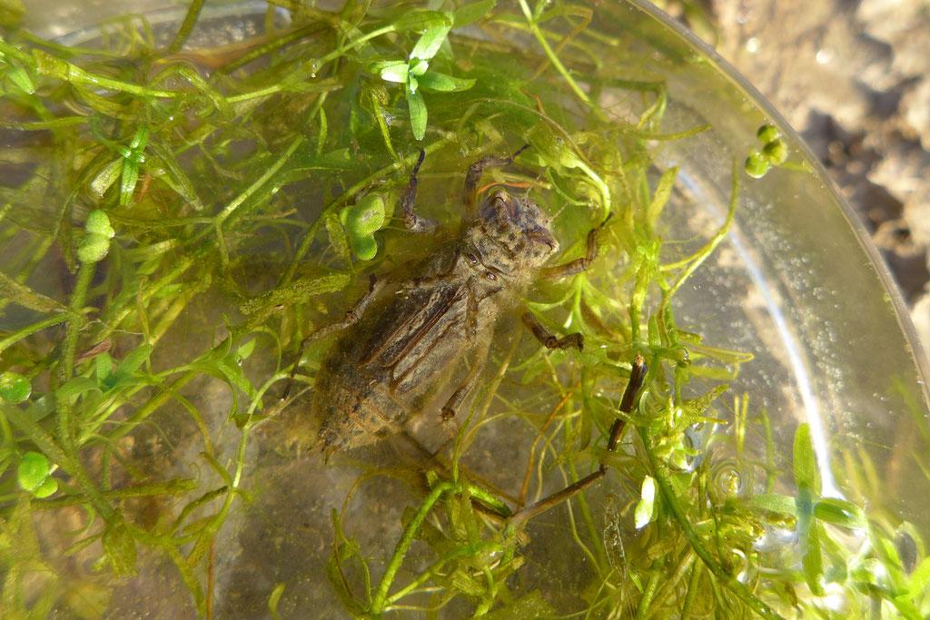 Wasserinsekten, etwa Libellenlarven, fängt der Eisvogel, indem er von einer Warte aus sich pfeilschnell ins Wasser stürzt.
