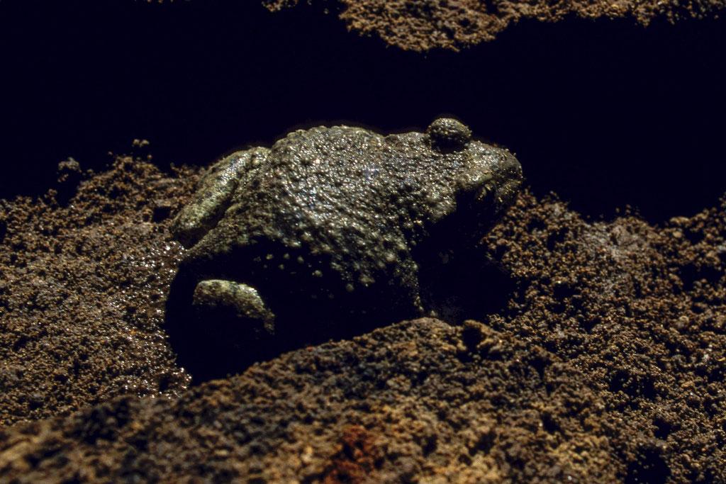 Die Glögglifrösche graben sich auch gerne durch weichen Erdboden unter Steinplatten oder Hausen in Mauslöchern an Altgrasböschungen.