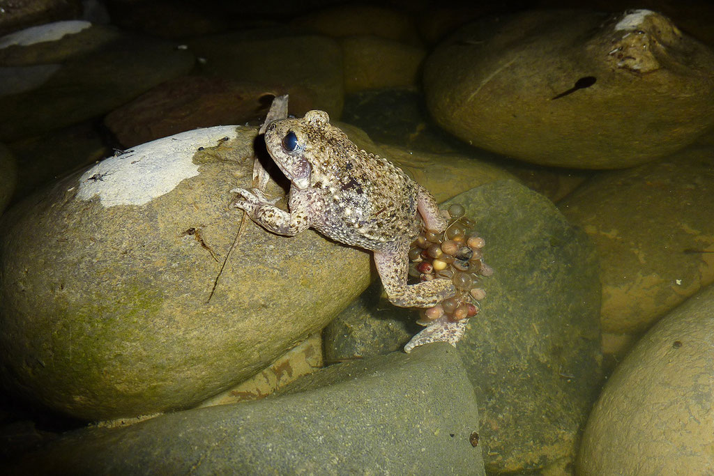 Ein Männchen entlässt gerade die Kaulquappen aus der Eierschnur ins Wasser. © Karin Schneider