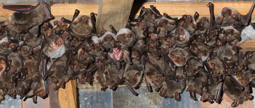 Das Grosse Mausohr benötigt warme und ruhige Estriche zur Jungenaufzucht. Foto: www.fledermausschutz.ch