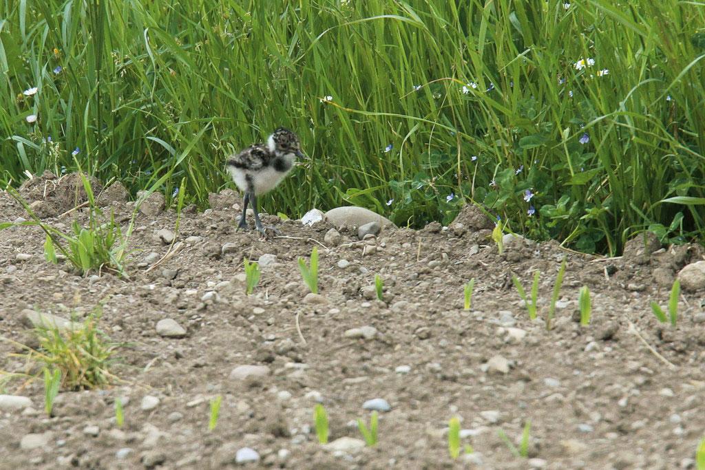 Junge Kiebitze sind Nestflüchter und brauchen ein Mosaik an geschnittenen und ungeschnittenen Flächen, welche ihnen Schutz und Nahrung bieten.  Foto: BirdLife Schweiz