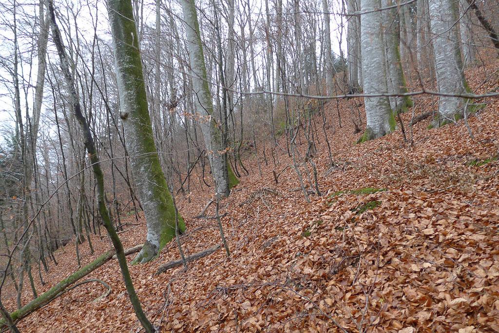 Buchenhallenwälder bieten dem Mausohr ein gutes Jagdhabitat. Die Kleintierfauna ist im Bereich der Laubstreu vielfältig und die Mausohren haben bei der Jagd sowohl im Anflug wie zu Fuss auf dem Boden ungehinderten Zugang zur Beute.
