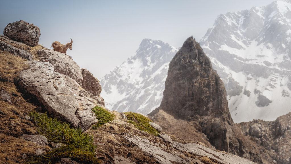 Bouquetin - Vallée de Champoléon -  (Hautes Alpes - France) © Arzur Michaël
