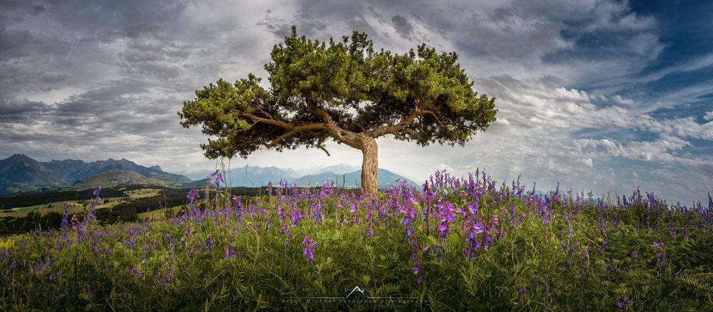 Pin Sylvestre - Col Bayard - (Hautes Alpes-France) © Arzur Michaël
