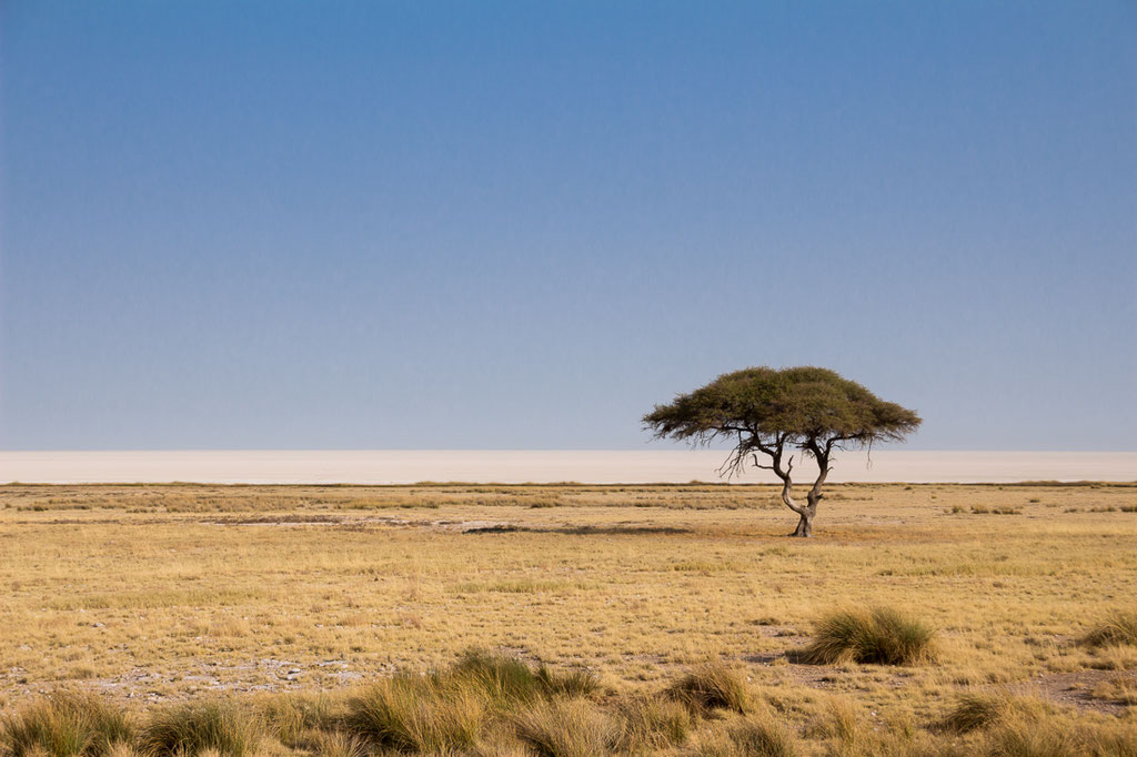 Lonely tree on the edge of Etosha's saltpan. Highly adapted organisms flourish despite that sparseness.