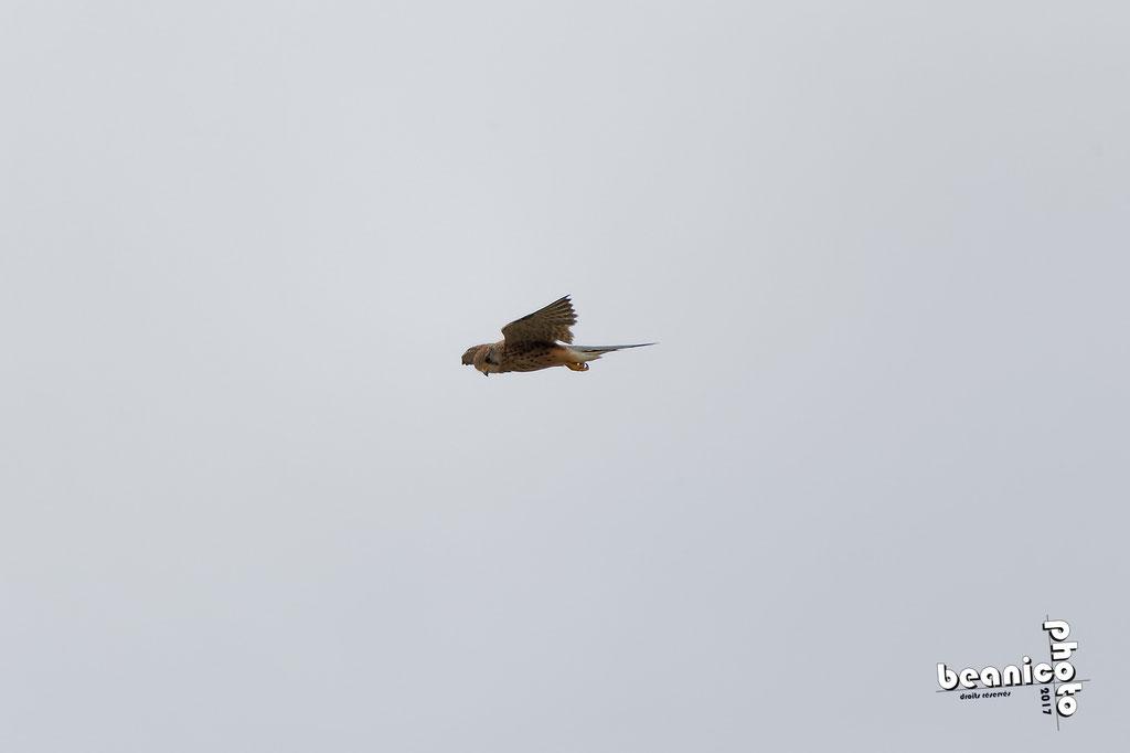 Faucon Crécerelle en chasse - Marais de l'Eguille - Ile d'Oléron - Béanico-Photo