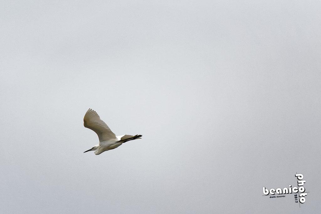 Aigrette-Garzette en vol - Marais de l'Eguille - Ile d'Oléron - Béanico-Photo