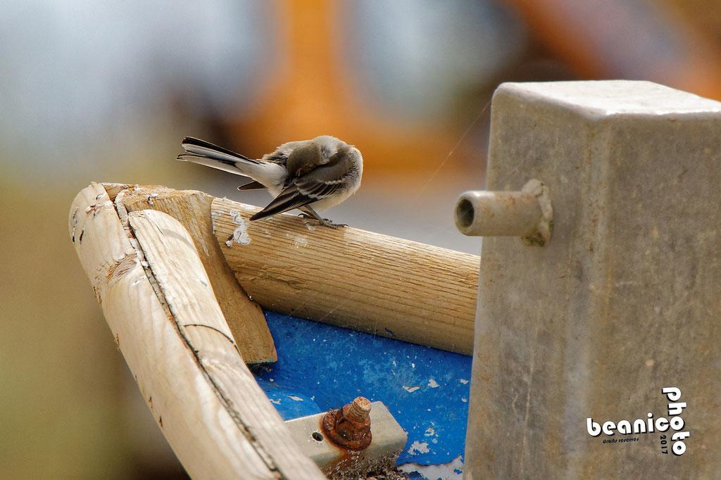 Petit oiseau sur une barque au Fort Royer - Boyardville - Ile d'Oléron - Béanico-Photo