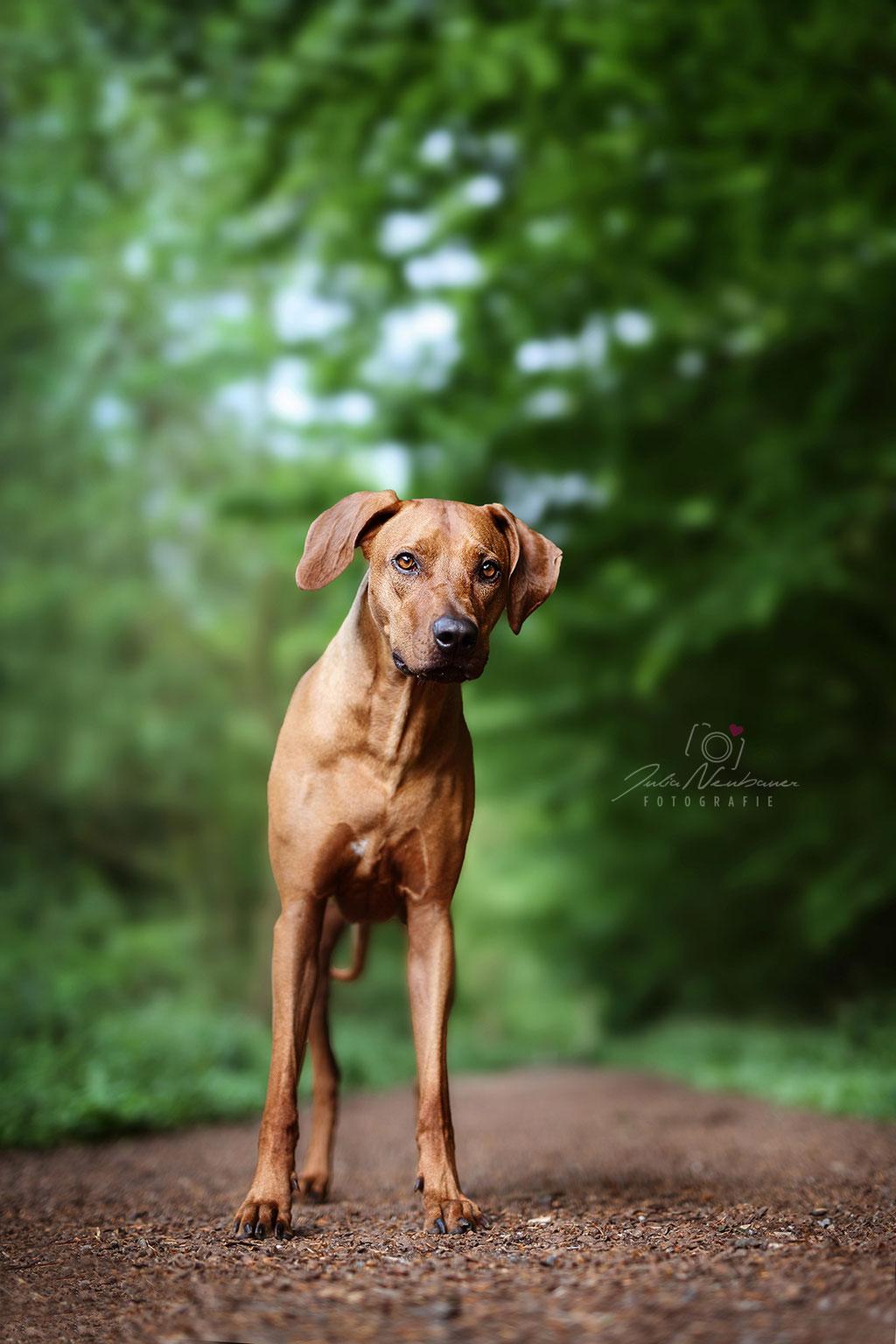 Rhodesian Ridgeback_Hund_Oer-Erkenschwick_Fotografin Julia Neubauer_Marl
