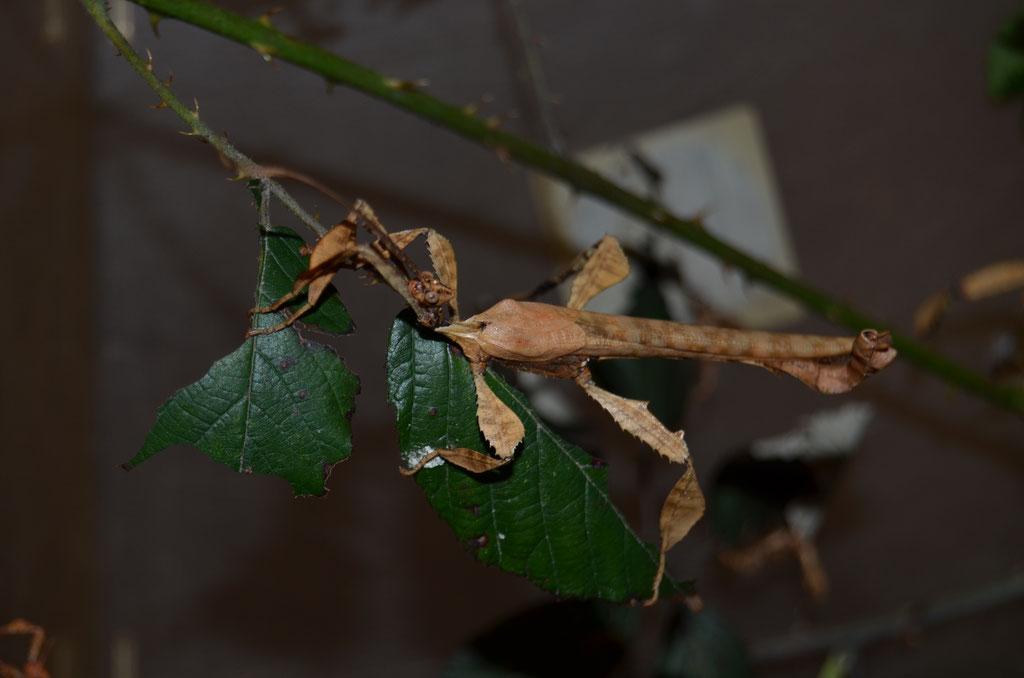 Australische Gespenstschrecke Extatosoma tiaratum
