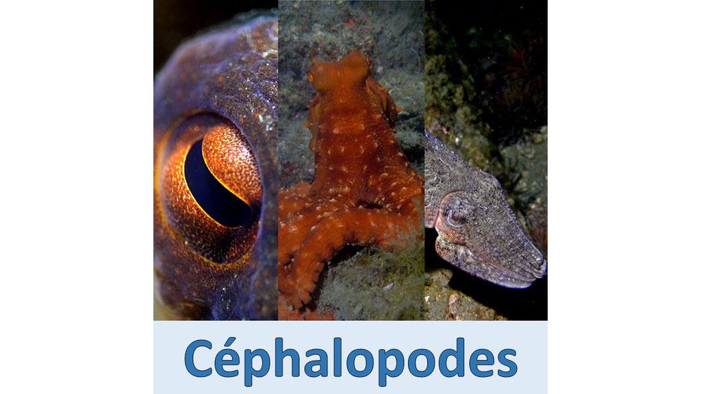 Lien vers la page des céphalopodes (poulpes, seiches, ...)