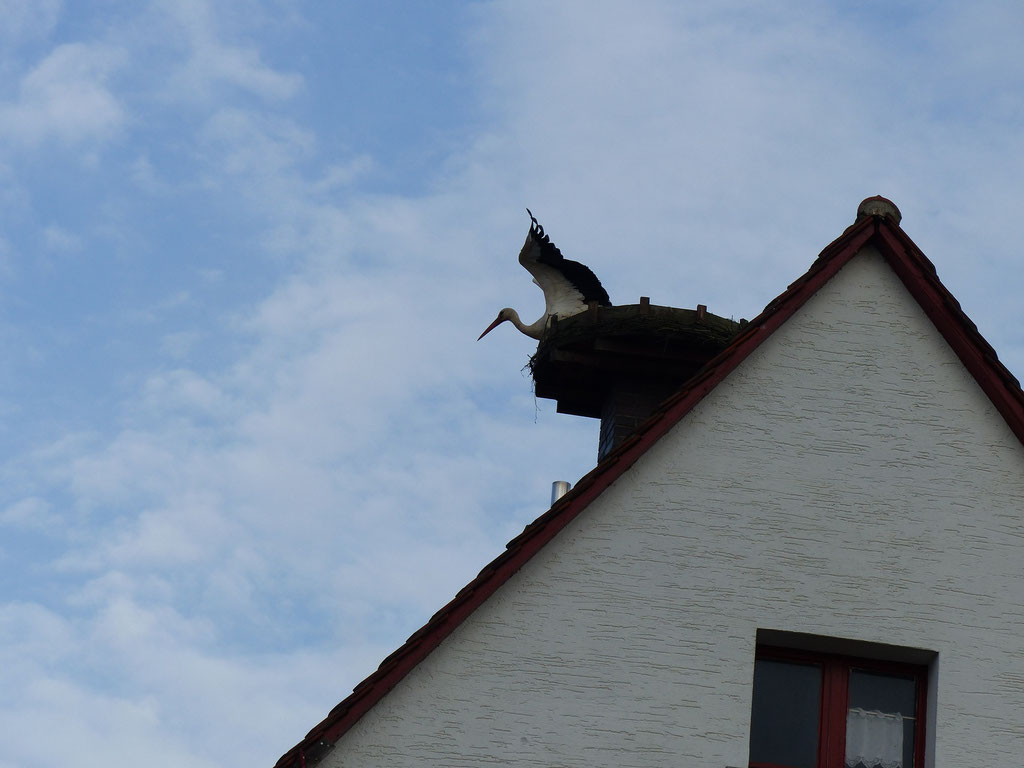 24.06.2015: Weißstorch zu Besuch auf dem Nest in der Egerstr. 10 - Foto: Stefan Wagner