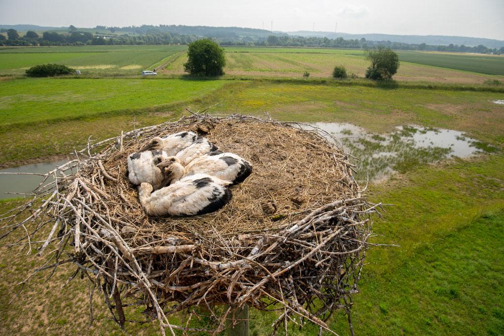 Die 5 Jungen in Fronhausen liegen bewegungslos im Nest - Foto: Sascha Rösner