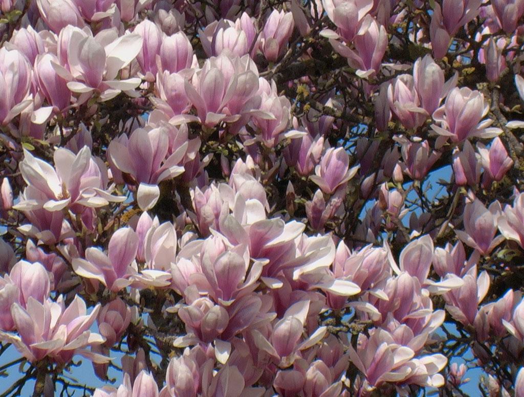 Magnolien Bodensee Insel Mainau Frühlingserwachen