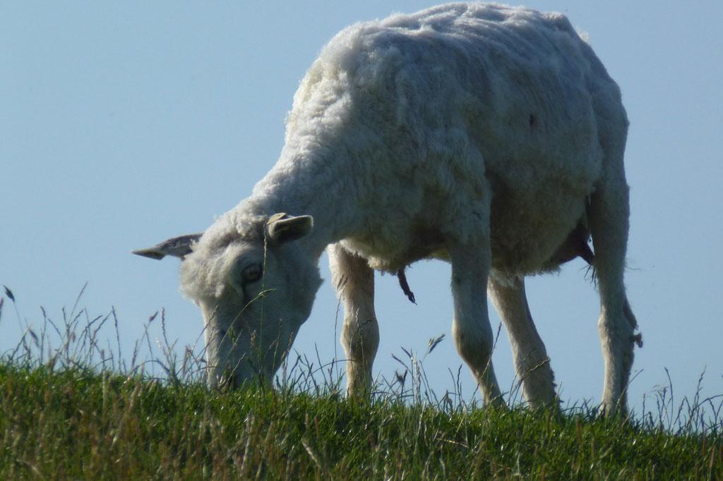 Bild: Schaf am grasen