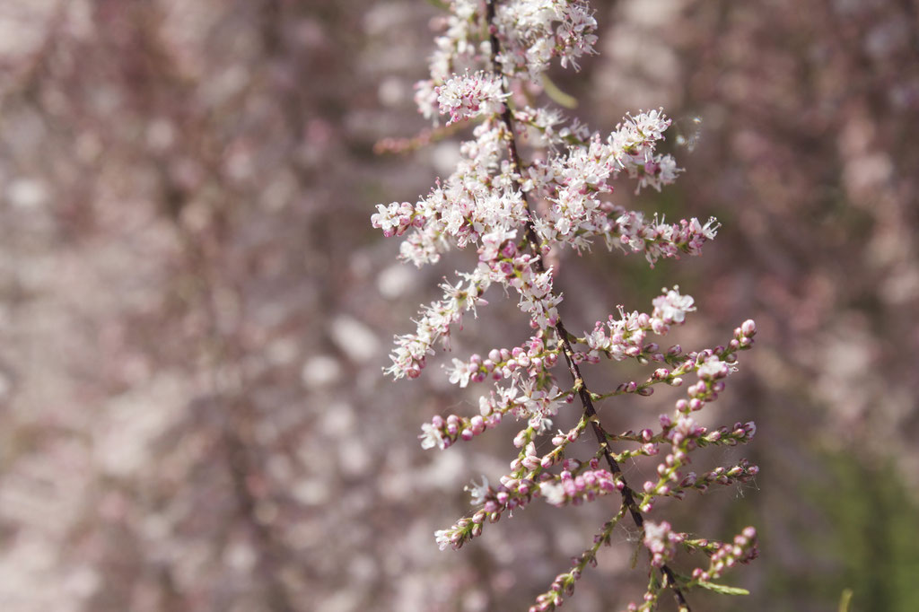 dieartigeBLOG - Special Guest: Tamariske, Blüten im Detail