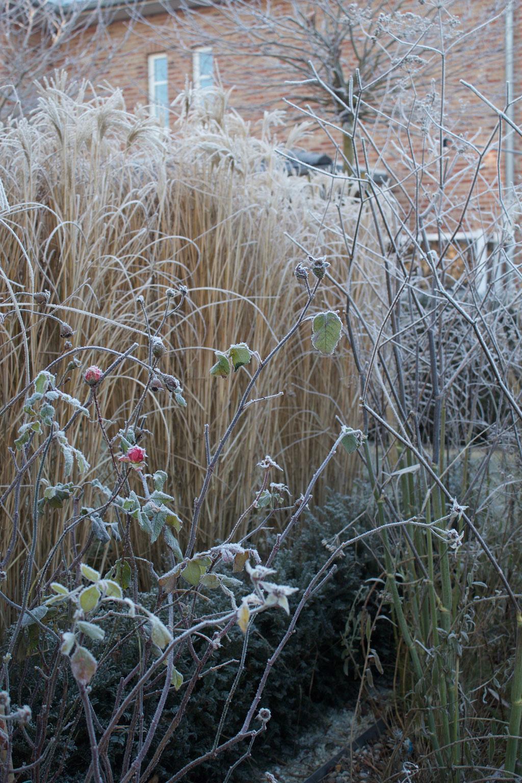 dieartigeBLOG - Wintergarten, Rauhreif + Eiskristalle, Chinaschilf, Rosen + Fenchel