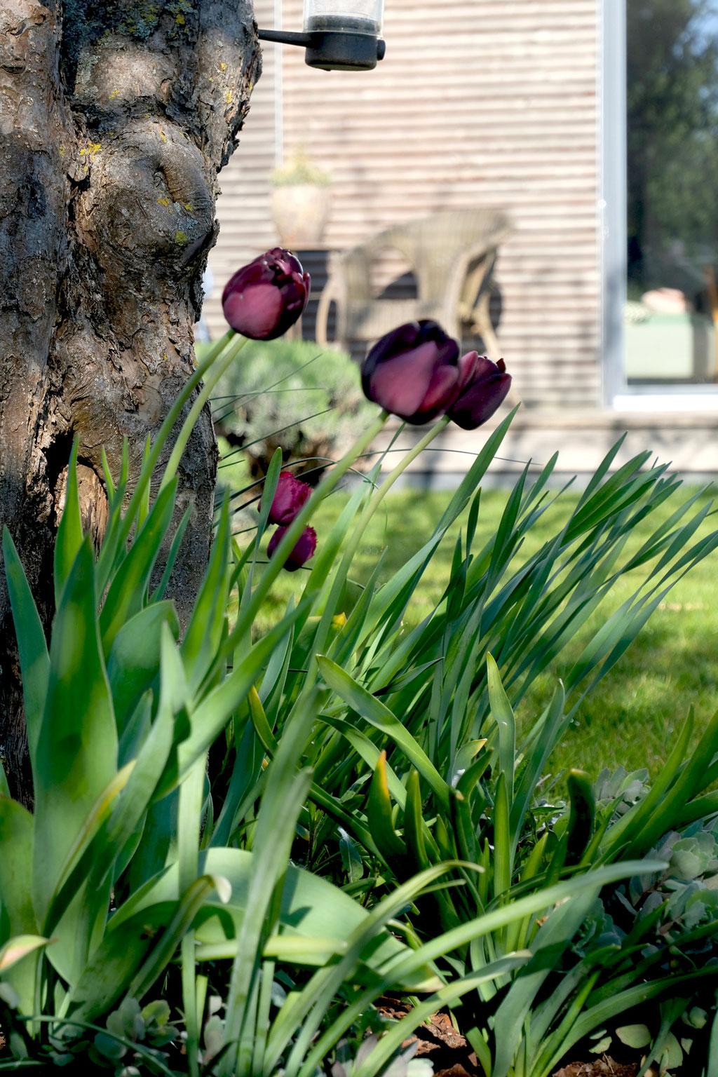"""dieartige - GARTEN// """"schwarze"""" Tulpen"""
