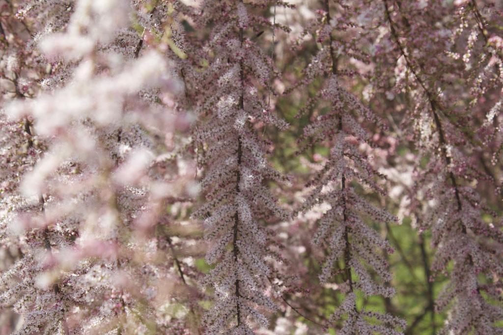 dieartigeBLOG - Special Guest: Tamariske mit überhängenden Zweigen